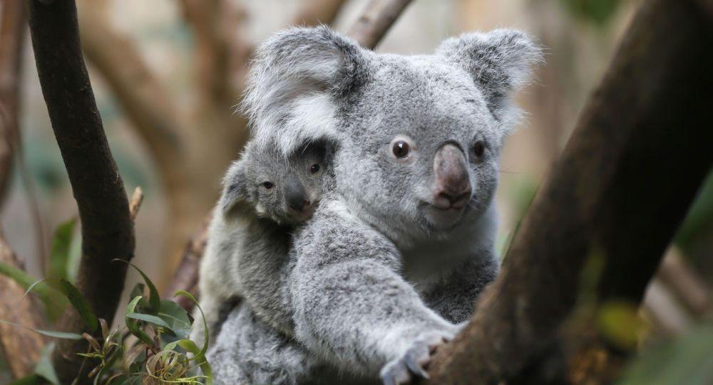 Koala, jedno z nejznámějších australských zvířat