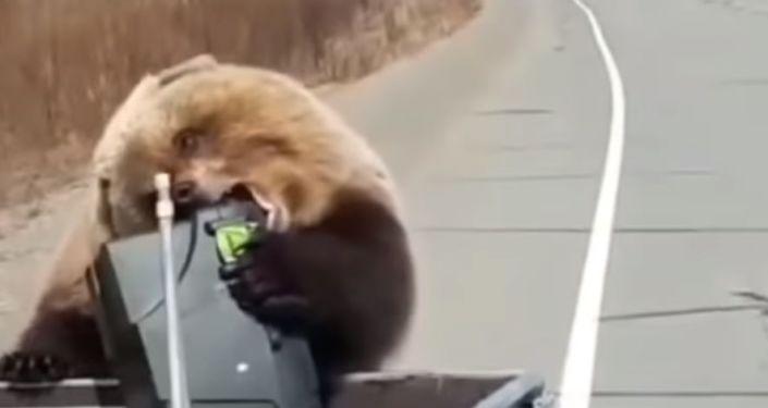 Drzý medvěd na Kamčatce ukradl lovcům lednici