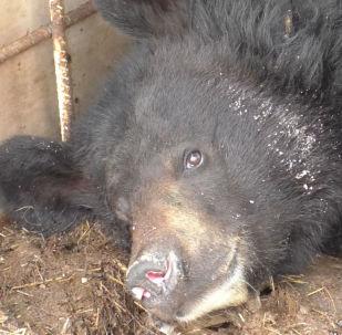 Lidské rozmary. Proč si majitel pořídil medvěda, kterého přivedl do stavu vyčerpání
