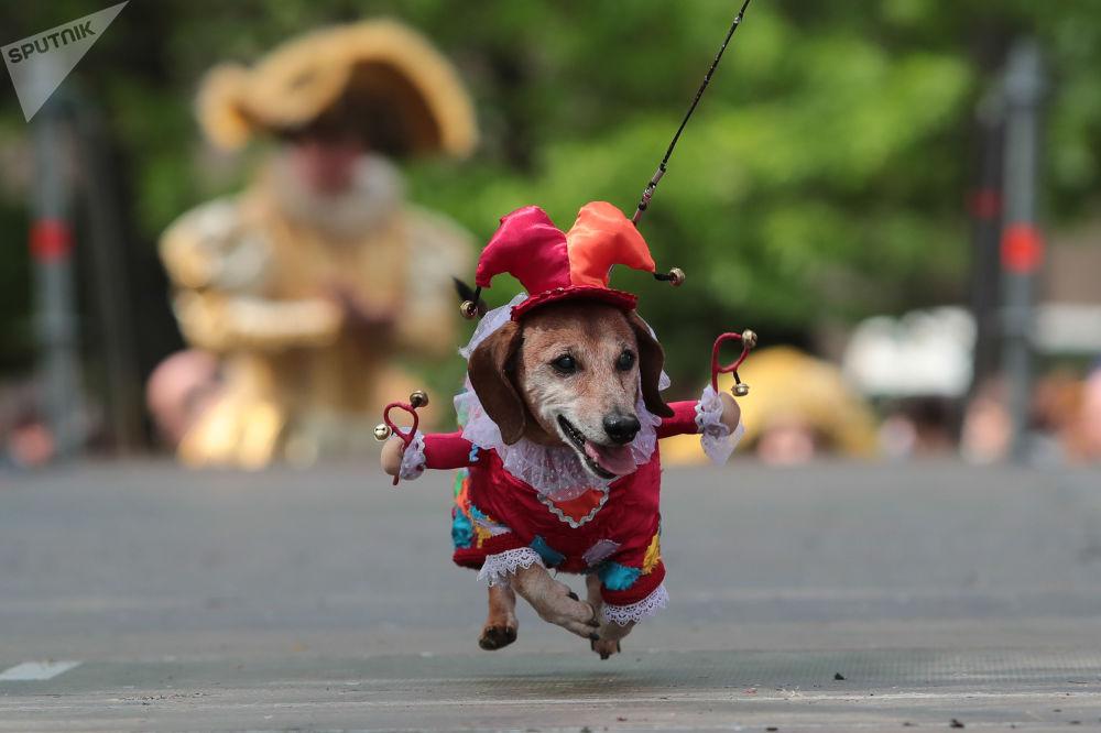Jezevčík v kostýmku na přehlídce jezevčíků v Petrohradu.