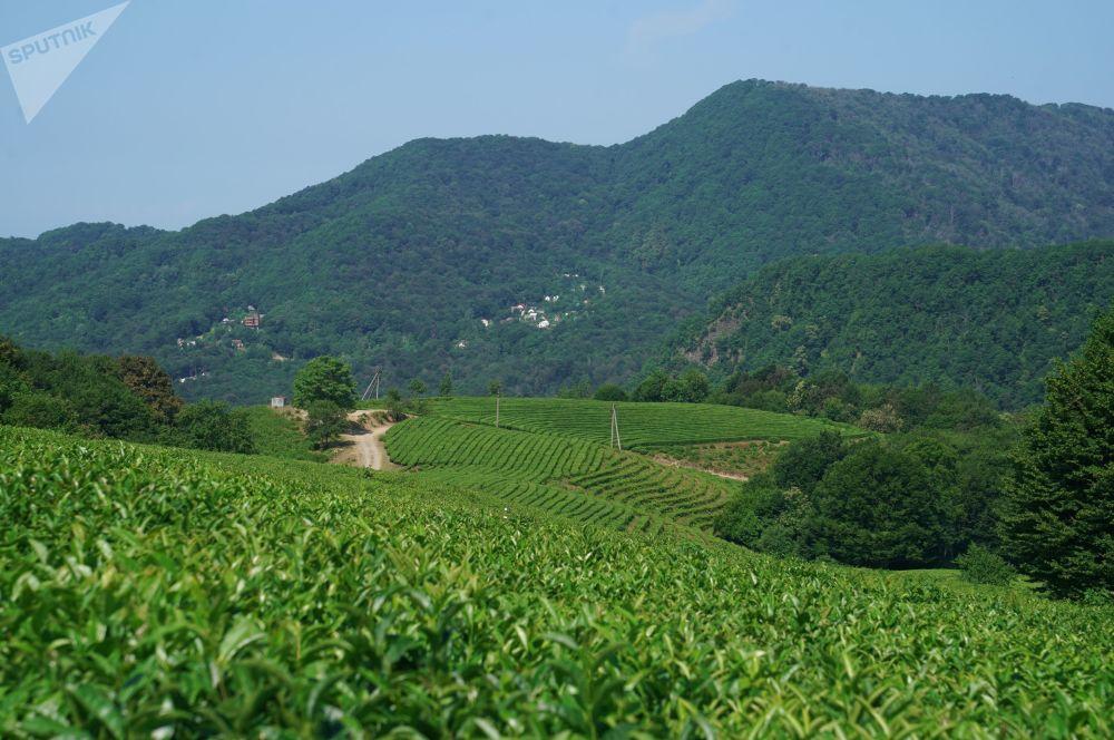 Čajová plantáž v oblasti Macesta v Soči.