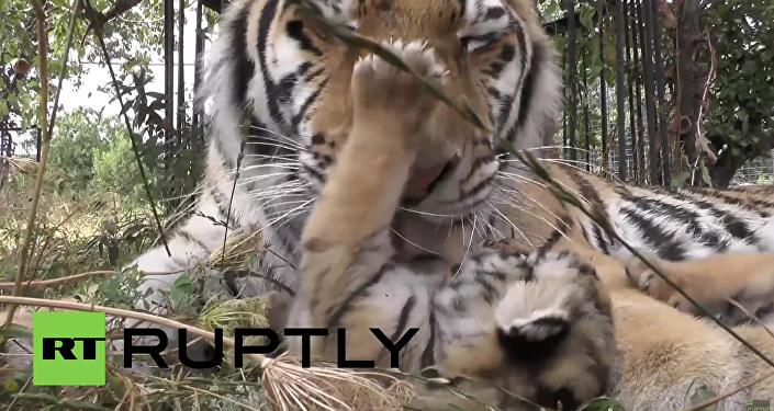 Krym: Tygřice Vasilisa adoptovala 5 amurských tygříků z tajgy