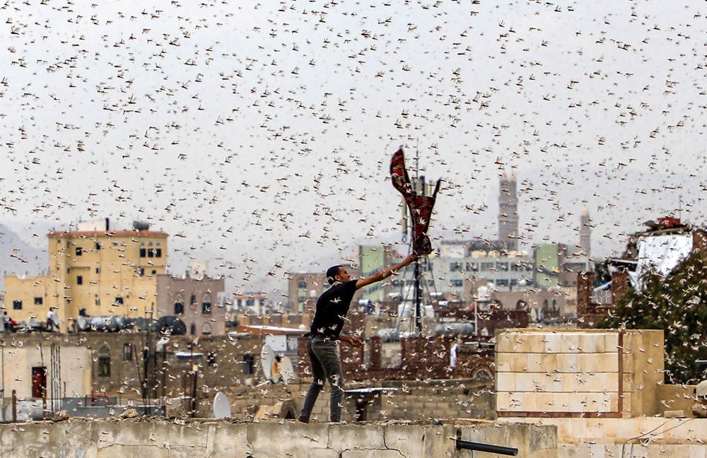 Muž chytá kobylky létající nad hlavním městem Jemenu Sana'a.