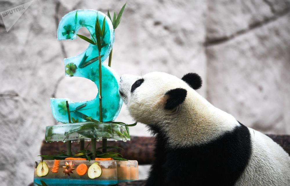 Panda během oslavy narozenin v moskevské zoo.