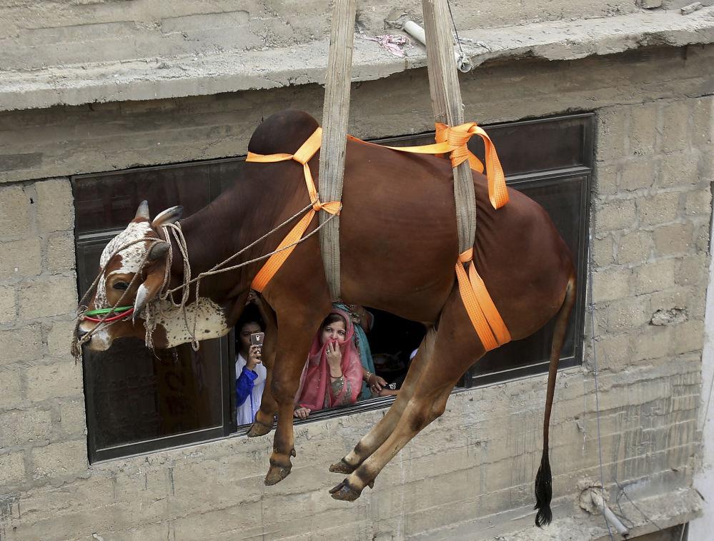 Přeprava býka na prodej v předvečer Svátku oběti v Karáčí v Pákistánu.