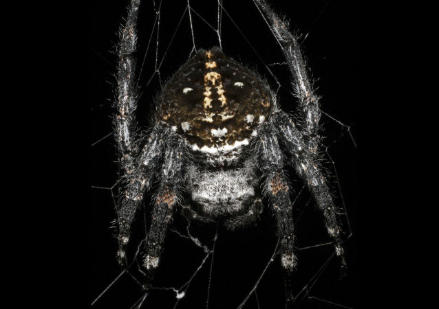 Pavouk Caerostris darwini