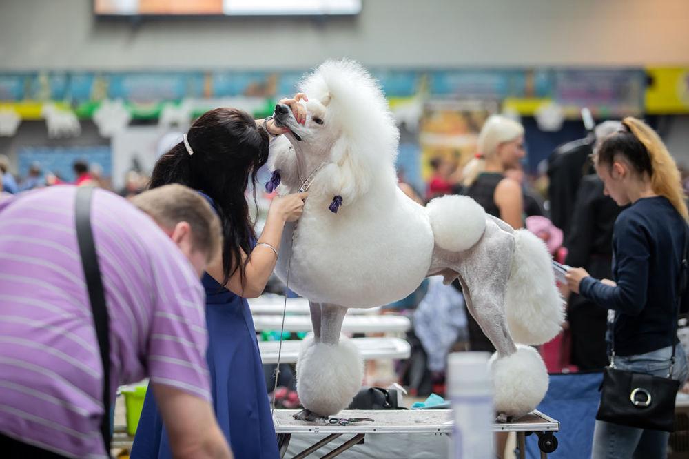 Zastřihování bílého pudla na Mezinárodní výstavě psů v Minsku