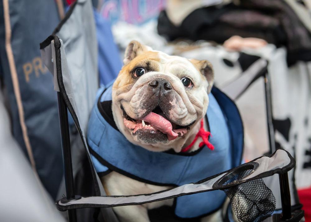 Anglický buldok na Mezinárodní výstavě psů v Minsku