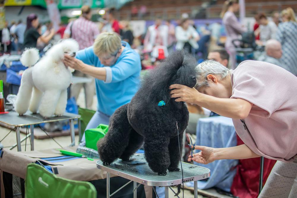 Závěrečné přípravy na Mezinárodní výstavě psů v Minsku