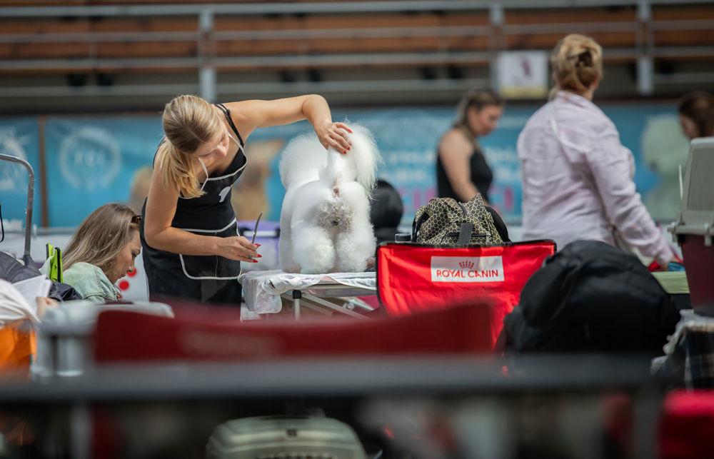 Střih bílého pudla na Mezinárodní výstavě psů v Minsku