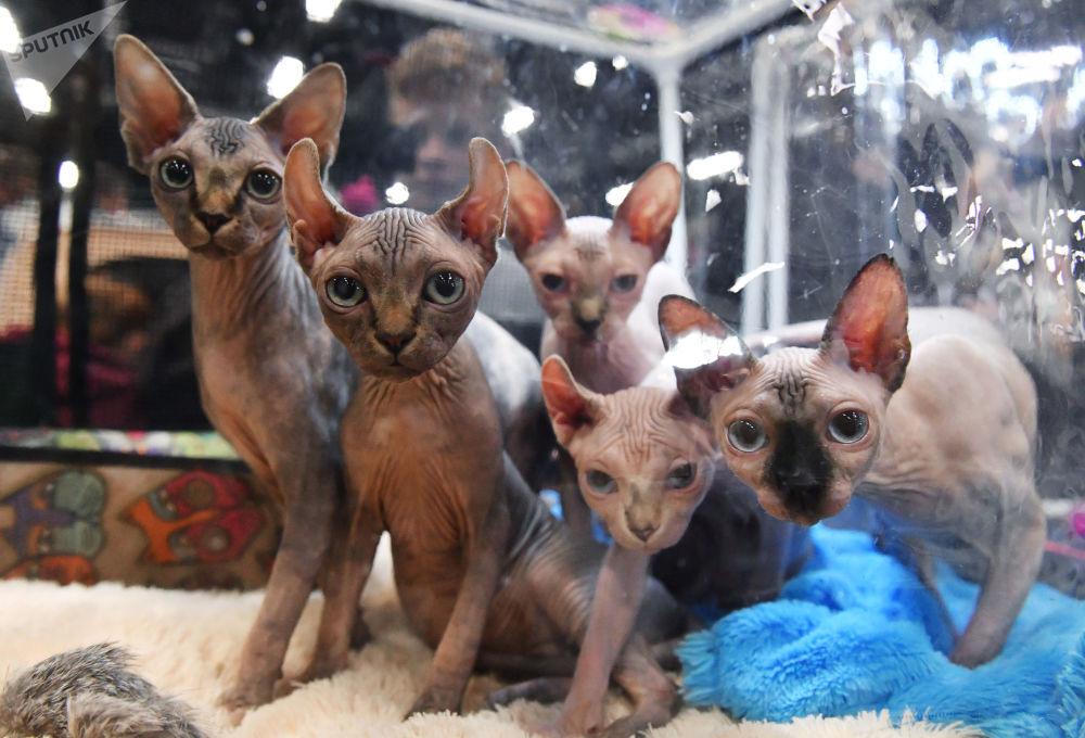 Kočky na výstavě v Moskvě.