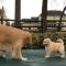 Zkus mě chytit! Zlatý retrívr a malé štěně rozesmáli diváky