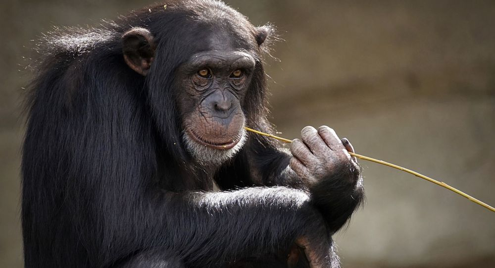 Šimpanz. Ilustrační foto