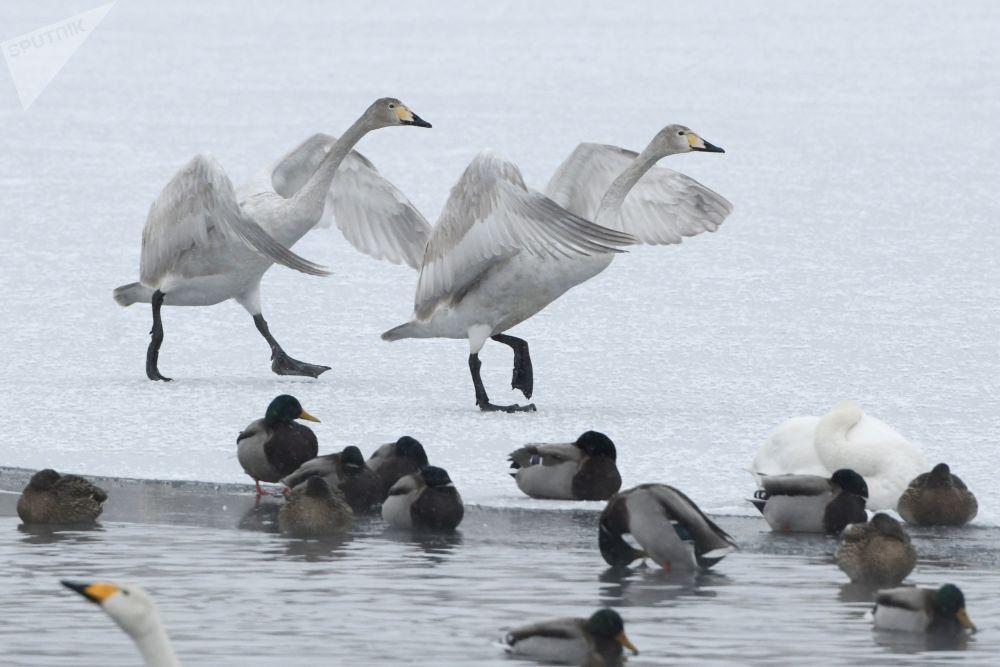 """Labutě a kachny na Labutím jezeře ve státním přírodním komplexu """"Labuť"""" v Altajském kraji"""