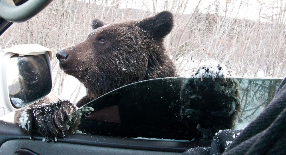 Hnědý medvěd žebrá na silnici v Sachalinské oblasti.
