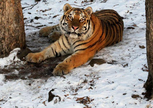 Amurský tygr