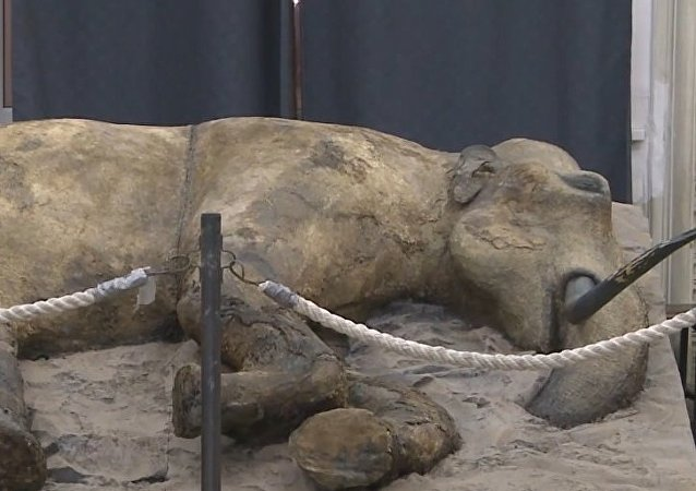 Russia: Zhenya the 37,000-year-old baby mammoth on display in St. Petersburg
