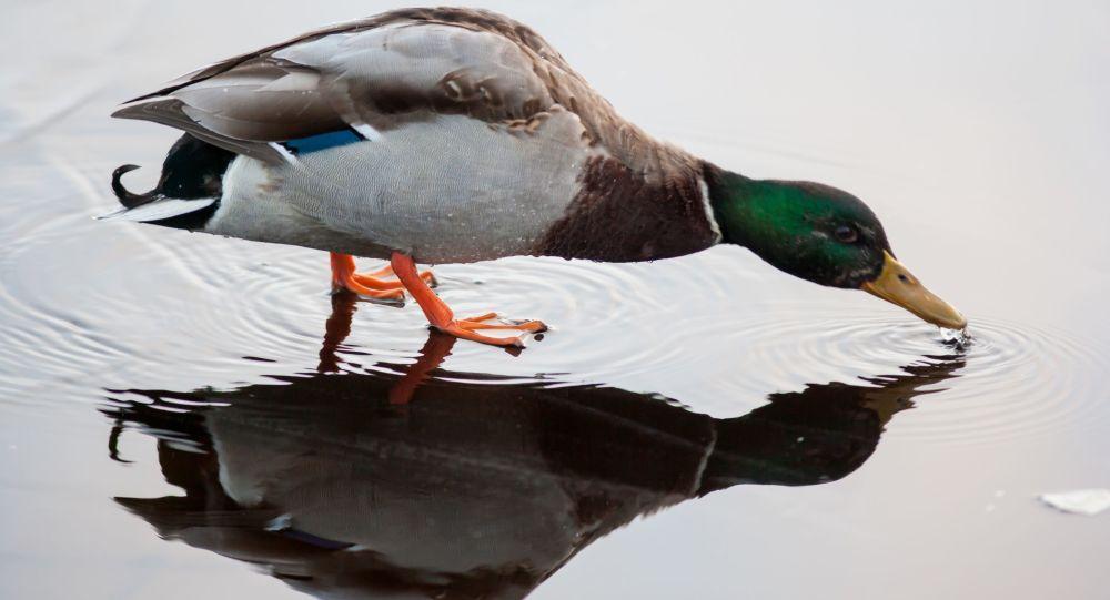 Na pobřeží jezera a na jeho ostrovech v rákosí hnízdí kachny, husy a labutě