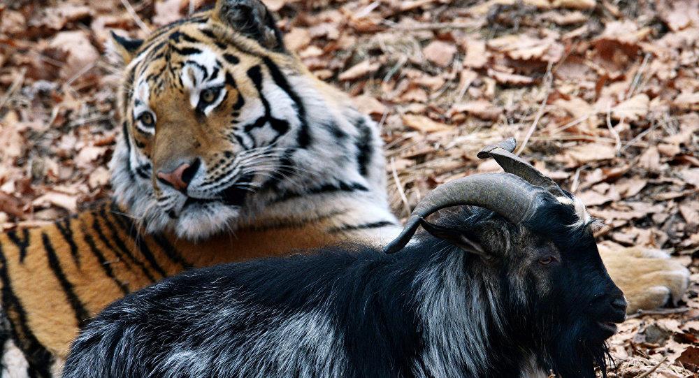 Tygr Amur a kozel Timur