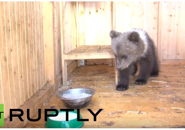 Rodina z Uchty zachránila vyhladovělého medvídka