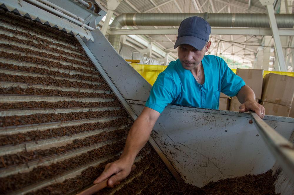 Výrobeno v Soči: jak vzniká čaj, nejsevernější na světě