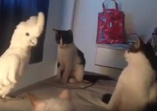 Papouškův úžasný dojem na kočky