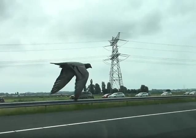 Holub závodí s auty na dálnici.