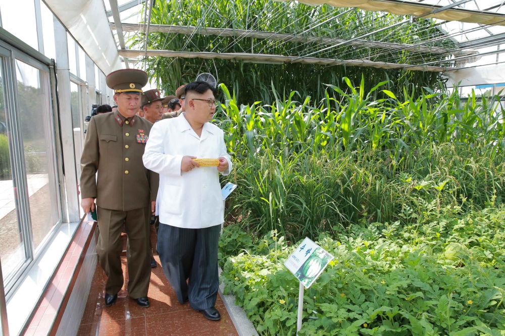 Kukuřice, spolu s brambory a sójou, je hlavní kulturní rostlinou v KLDR