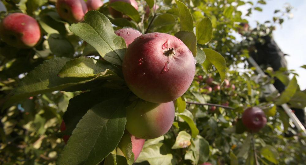 Úroda jablek v Bělorusku