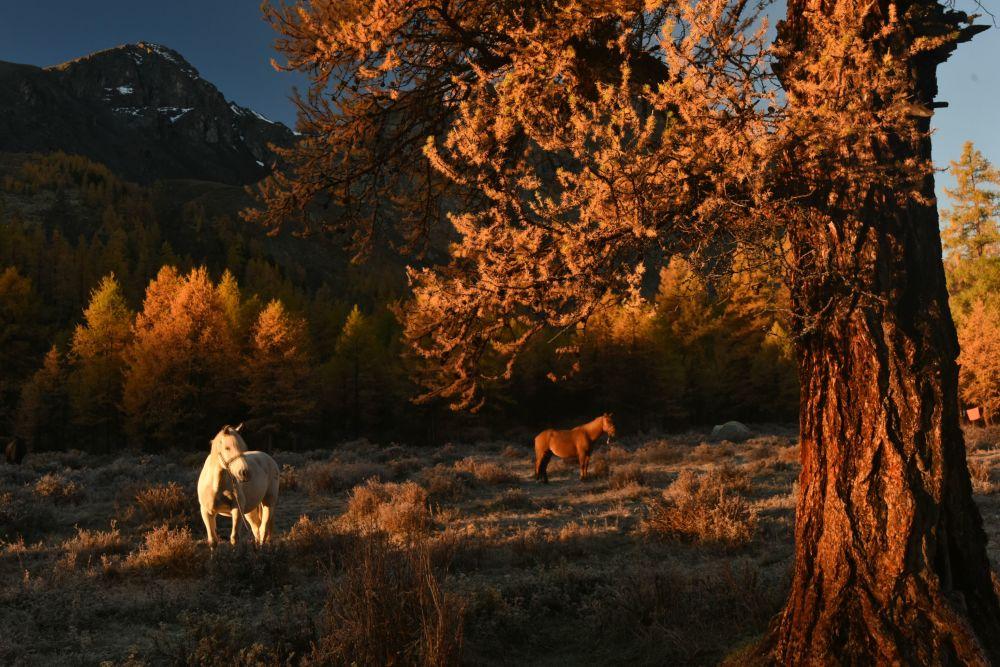 Pasoucí se koně v údolí řeky Karakabak Severočujského hřebenu Altajské republiky