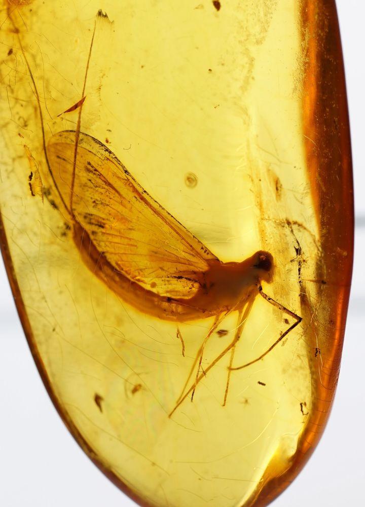 Zkamenělý hmyz v jantaru
