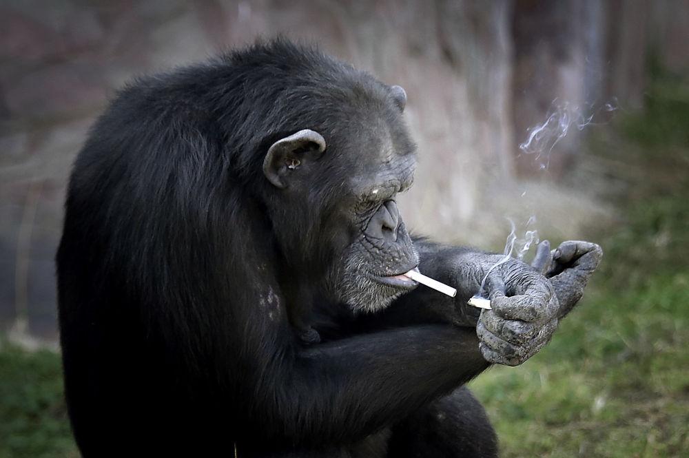 Kouřící opice v pchjongjangské zoo, KLDR