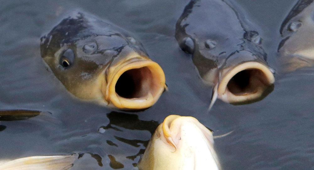 Kapři v rybníku