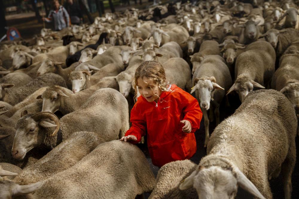 Chlapec se stádem ovcí jde centrem Madridu