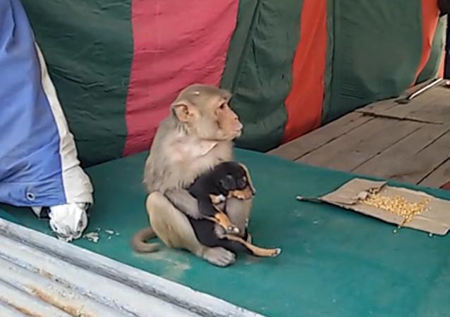 Indická opice se rozhodla vychovávat štěně bez domova