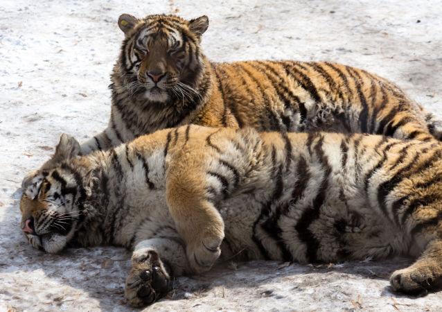 Tygři v Parku Sibiřských tygrů v Charbinu