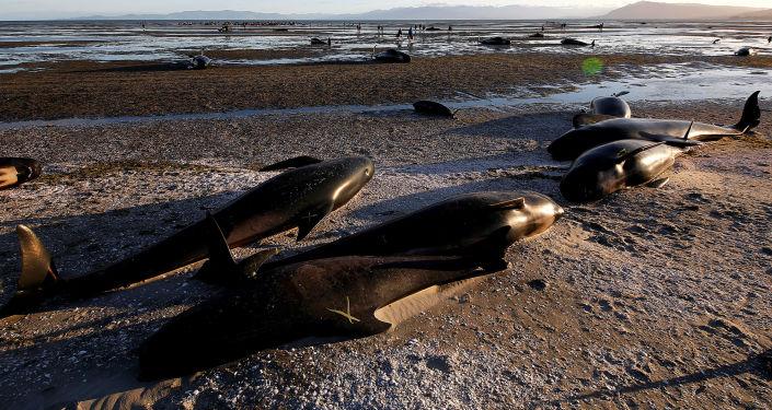 Na břeh Nového Zélandu vyskočilo více než 400 delfínů