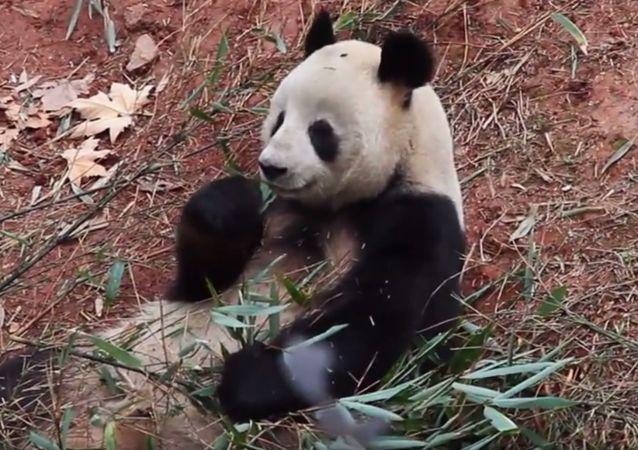 Samec pandy Cobi