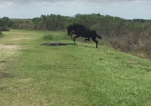 Na Floridě kůň napadl aligátora