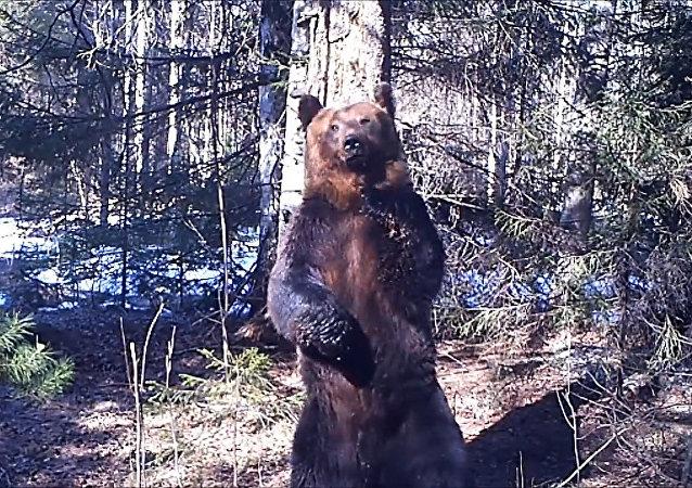 Ruský medvěd překonává mnohé tanečníky
