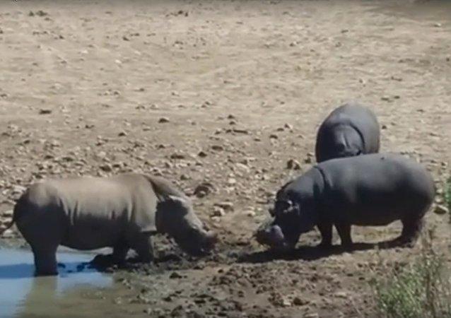 V JAR hroch utopil nosorožce v boji o vodu