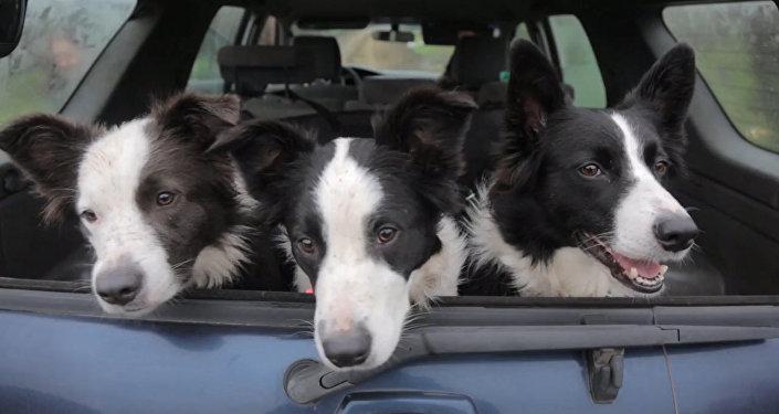 Psi pomáhají obnovovat shořelé lesy v Chile