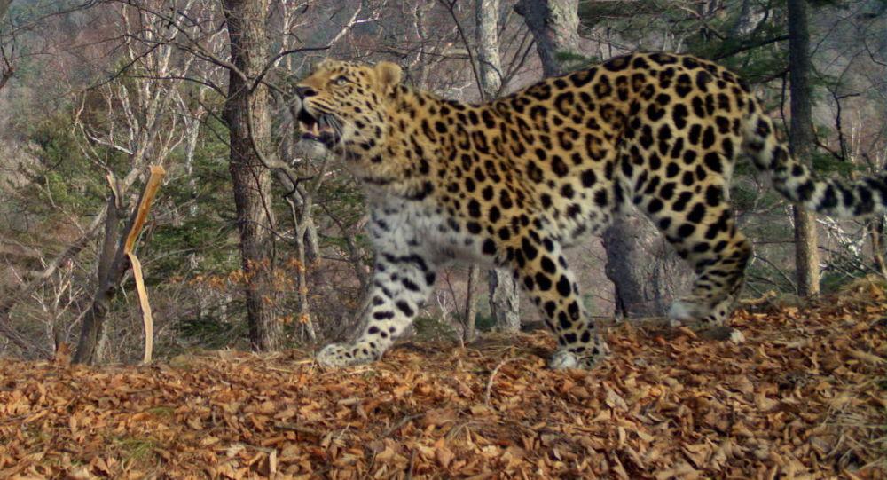 Samec dálněvýchodního leoparda Leo 64M