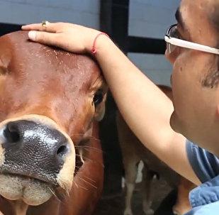 Neobvyklý indický startup: mýdlo z kravského hnoje a zubní pasta s močí