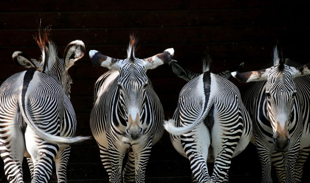 Zebry v zoo Aušpurku, Německo