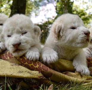 První dny života bílých lvíčat na Krymu