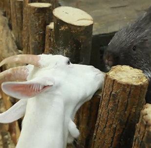 Zvířecí přátelství: společenské vztahy dikobraza