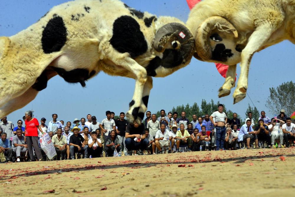 Lidé se dívají na souboj beranů v čínské vesnici