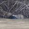 Na síti se objevila videonahrávka smrtelného zápasu kajmana s jaguárem