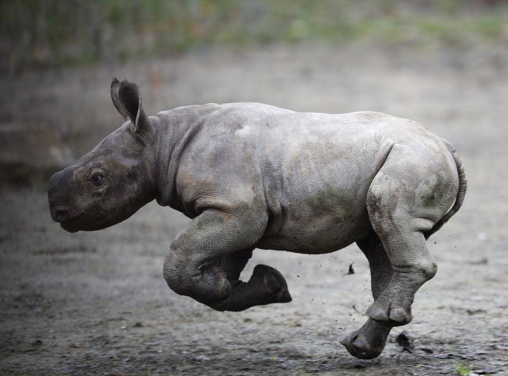 Novorozený nosorožec v zoo ve Dvoře Králové nad Labem